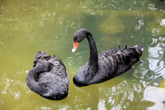 Black swans. Two black swans on the pond stock image