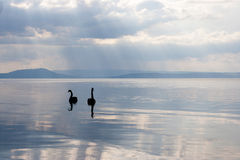 Black Swans. A pair of black swans on Lake Taupo, New Zealand North Island Stock Images