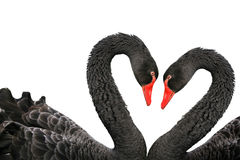 Black swans. Isolated on a white background Royalty Free Stock Photo