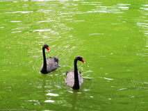 Black swans. Two black swans on a lake, in the park, in the summer Royalty Free Stock Images