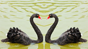 Black swans Stock Photos