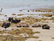 Black Swans Stock Photo