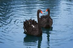 Free Black Swans Royalty Free Stock Images - 3691759