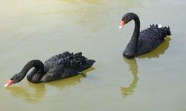 Black swans Stock Image