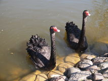Black swans at Belmontas (Vilnius, Lithuania) Stock Images