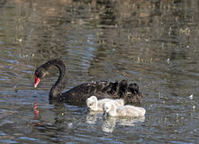 Black swans Royalty Free Stock Photos