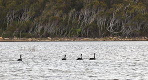 Black swans. Coila Lake. NSW. Australia Stock Image