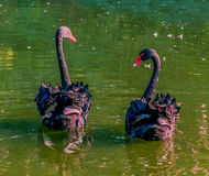 Black Swans. couple. Couple of Black Swans on lake in park Royalty Free Stock Image