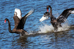 Black Swans Courting. A pair of Black Swans chase each other through the lake in a courting ritual involving much splashing and flapping of powerful wings stock photo