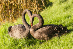 Black swans courting on grass Royalty Free Stock Photo
