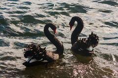 Black swans in courtship Stock Images