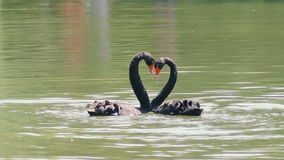 Black swans creating a heart shape on the lake. Two black swans romantically together creating a heart shape on the lake stock video footage