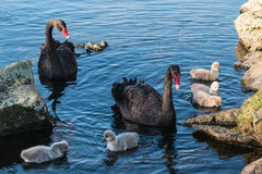 Black swans with cygnets Royalty Free Stock Photos