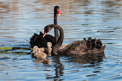 Black swans with cygnets Royalty Free Stock Image