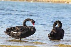 Black Swans (Cygnus atratus) Stock Photos
