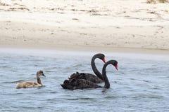 Black Swans (Cygnus atratus) Stock Images