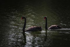 Black swans, dark water. Two black swans swimming as a pair Royalty Free Stock Images