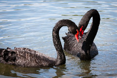 Black Swans Royalty Free Stock Photography