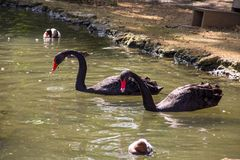 Black swans and ducks swimming in artificial pond. Black swans and ducks swimming in the artificial pond stock photos