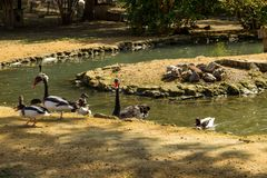 Black swans and ducks swimming in artificial pond. Black swans and ducks swimming in the artificial pond stock photo