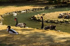 Black swans and ducks swimming in artificial pond. Black swans and ducks swimming in the artificial pond stock images