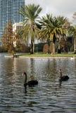 Black Swans at Eola Lake, Orlando. Two black swan swimming across the Eola Lake, Florida, USA Royalty Free Stock Images