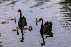 Black swans family floating on lake surface Stock Images