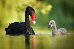 Black swans family. Wild black swan in the Chateau Garden Stock Image