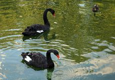 Black Swans floating in the city pond stock image