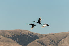 Black swans flying over hills Royalty Free Stock Photography