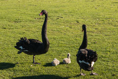 Black swans guarding cygnets Stock Image