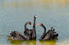 Black Swans on lake Stock Images