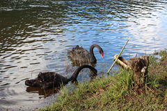Black swans Stock Photos