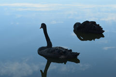 Black swans. On the lake Stock Photography