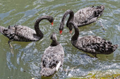 The black Swans in the lake in botanical garden of Furnas Sao Miguel Stock Images