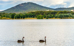 Black swans on Lake Burley Griffin in Canberra, the capital of Australia Stock Photography