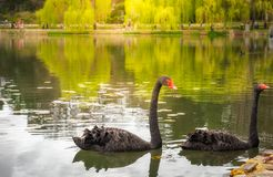 Black Swans on the lake in Canberra in foreground and willow tre Stock Images