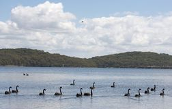 Black swans on Lake Macquarie Stock Photos