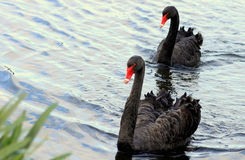 Black Swans on Lake Stock Photo