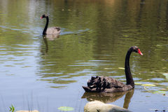 Black Swans in lake Stock Photos