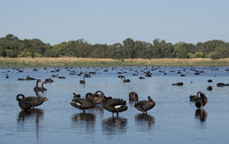 Black swans. On a lake Perth Western Australia Stock Image