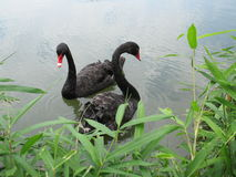 Black Swans in lake Royalty Free Stock Photos
