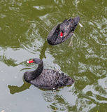 Black swans on the lake Stock Photos