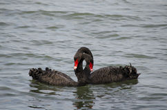 Black swans mating Royalty Free Stock Images