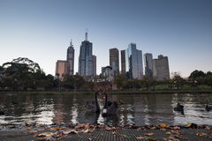 Black Swans with Melbourne Skyline royalty free stock images