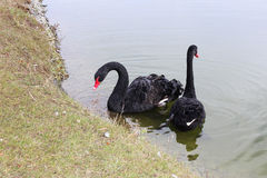 Black swans. Near the shore Stock Photos