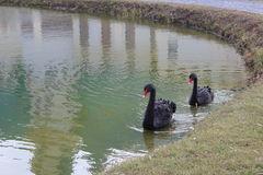 Black swans. Near the shore Royalty Free Stock Images