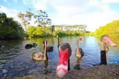 Black swans New Zealand Royalty Free Stock Image