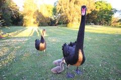 Black swans  new zealand Stock Image