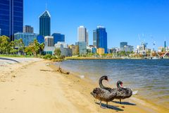 Black Swans On Swan River Perth Royalty Free Stock Images